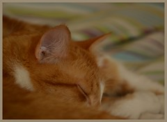Nap time (Machicouly) Tags: red cats cat ginger chats chat nap sleep gatos gato siesta dormir roux sueo hctor pasqua sommeil sieste rubio machicouly