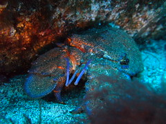 Restingo Slipper Lobster (Scuba Devils) Tags: islands scuba el canary slipperlobster elrincon heirro arrecifal restingo