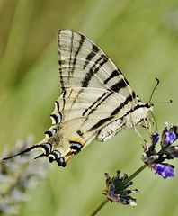 Scarce Swallowtail Butterfly (Paul (Barniegoog)) Tags: nature butterfly swallowtail lepido
