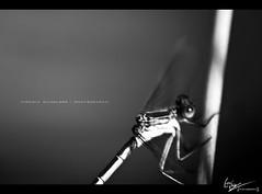 Damselfly (Virginia Wilhelmer) Tags: light shadow sun white black blur macro nature animal canon austria wing insects damselfly tyrol