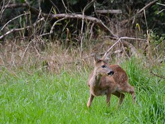Reekalf (GeorgeMentink) Tags: wildlife deer roe roedeer reh twente chevreuil ree capreolus rotwild capreoluscapreolus holthuis d5100 nederlandswild metsakauris