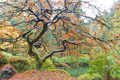 That Maple (Scott DeSelle) Tags: autumn oregon canon portland japanesegarden japanesemaple maples hdr acratech reallyrightstuff rrs eos7d canonefs1022usm