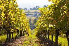 Coldstream Hills (Adam Dimech) Tags: plants plant landscape vineyard australia victoria winery yarravalley grapes grape grapevine coldstream vitisvinifera coldstreamhills