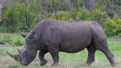 Suedafrika-13 (Lukas P Schmidt) Tags: nationalpark krugerpark nashorn