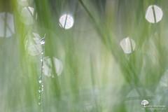 Gouttes et Flares (photosenvrac) Tags: macro nature bokeh flare gouttes sigma150 thierryduchamp