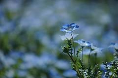 /Nemophila menziesii -3 (nobuflickr) Tags: blue baby flower nature japan eyes kyoto   nemophila menziesii thekyotobotanicalgarden   awesomeblossoms   20160420dsc07604
