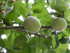 Plums (nofrills) Tags: plants plant tree green floral fruits fruit flora plum plums 梅 ウメ