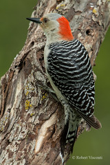Red-bellied Woodpecker (sunnyf16) Tags: bird nature woodpecker nikon flickr feathers northamerica redbelliedwoodpecker naturephotography resident picidae nikonprime sunnyf16 robertvisconti followmeontwittercloserlookwldlf