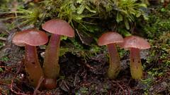 Gliophorus lilacipes ~ a rather variable waxgill (New Zealand Wild) Tags: pink newzealand wild nature mushroom beautiful beauty mushrooms photography fungi stunning wilderness westcoast aotearoa westland mycology nationalgeographic newzealandnature kaimata arnoldriver waxgill gliophorus newzealandnaturephotography wildnewzealand newzealandgeographic stevereekie gliophoruslilacipes newzealandwild wildaotearoa
