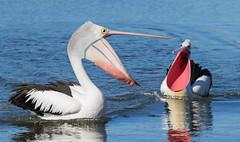 Falling in love again (christinaportphotography) Tags: pink wild reflection bird birds focus dof free australia pelican nsw centralcoast courting australianpelican pelecanusconspicillatus