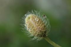 coquelicot (bulbocode909) Tags: nature fleurs vert avril printemps gouttes coquelicots veil pavots