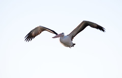 Pelican in flight (Merrillie) Tags: bird nature animal fauna photography flying nikon natural outdoor wildlife flight australia pelican nsw newsouthwales centralcoast woywoy d5500 nswcentralcoast centralcoastnsw