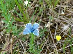 Belles rencontres de la Valle de la Vis (brigeham34) Tags: france rando eu mai papillon printemps languedocroussillon hrault argusbleu moulindelafoux rsurgencedelavis vissec floreetfaune fz45 valledelavis