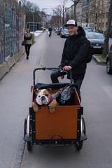 A Danish Bulldog (virtualwayfarer) Tags: dog bike bicycle copenhagen puppy denmark exploring streetphotography lifestyle bulldog explore danish nordic pup dslr scandinavia danmark doggie scandinavian kobenhavn copenhagenharbor britishbulldog christianiabike canon6d