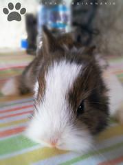 tzitzi bunny (Love me tender .**..*) Tags: baby brown white blur bunny colors animals greek photography eyes sweet earth small athens tiny planet attica tzitzi 2016  dimitrakirgiannaki samsunggalaxya5
