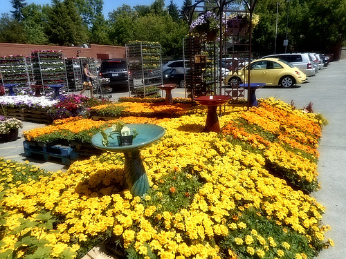 Marigold Flowers At Fred Meyer Lake City Way Upper Level Garden Center  Seattle, WA