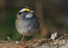 Bruant  gorge blanche / White Throated sparrow (Steph Tremblay) Tags: canada qubec whitethroatedsparrow chteauguay nikkortc17eii bruantagorgeblanche lestbernard refugefauniquemargueritedyouville nikond7100 stephanetremblay nikkor300mmf4epfedvr