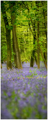 Vertical  Pano (SFB579 Namaste) Tags: park wood trees tree green vertical bluebells forest woodland nikon yorkshire panoramic wakefield springtime