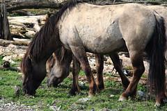 Oostvaardersplassen (natas0320) Tags: horses horse holland nature thenetherlands wildhorses lelystad takingpictures takingphotos oostvaardersplassen natureinmubackyard