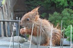 """so ein Regenwetter am Freitag den 13.05.2016 (flixx-ak) Tags: germany deutschland squirrel eichhörnchen 2016 flixxakoffenbachammainhessen """"anvormeinemfenster"""" nachwuchs2016 r0019718"""