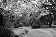201604-03 (GenJapan1986) Tags: blackandwhite film japan spring university   cherryblossoms  miyagi  tohokuuniversity  ilfordhp5plus 2016      nikonnewfm2