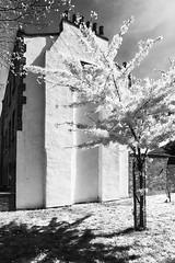 Bermondsey Cherry (anne.@wood) Tags: london cherry blossom bermondsay