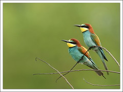 Guêpier d'europe (guiguid45) Tags: bird nature nikon loire oiseaux sauvage meropsapiaster europeanbeeeater loiret 500mmf4 d810 guêpierdeurope