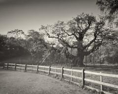 1414 (G-A-P) Tags: camera wood handmade pinhole sherwoodforest 4x5 pinholecamera rodinal development largeformat karlos 5x4 fomapan100 majoroak sheetfilm adolux karlospinholecamera karlrichards karloscameras sherwoodcameras aph09semistandstand