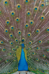 I'm sooo sexy - courting male peacock in full mating display - Costa Rica (Phil Marion) Tags: travel wedding boy vacation people woman hot sexy ass beach girl beautiful beauty sex canon naked nude nipples slim boobs nu candid dick young hijab nackt explore teen tranny xxx chubby plump  burqa nudo desnudo dink  nubile telanjang schlampe    5photosaday explored  thn nijab    kha    malibog    philmarion         saloupe