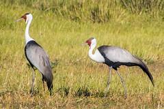 Wattled Crane - Pair (Barbara Evans 7) Tags: game crane pair reserve barbara botswana moremi wattled evans7