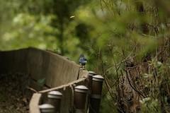 IMG_6120 (californiajbroad) Tags: bird nature outdoors wildlife birding scrubjay