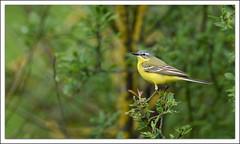 Bergeronnette printanire (guiguid45) Tags: bird nature nikon oiseaux sauvage motacillaflava loiret 500mmf4 d810 bergeronnetteprintanire westernyellowwagtail
