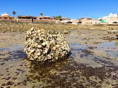 IMG_0237 (Tina A Thompson) Tags: sonora seashells mexico sealife seashell marinebiology tidepools seaofcortez marinelife chollabay mexicobeaches chollabaymexico