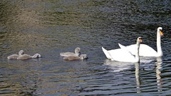 Two by two (Sundornvic) Tags: family baby water river swan young cygnet riversevern shrewsbury pairs ripples