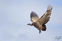 White-backed Vulture- Kruger National Park, South Africa (wsweet321) Tags: africa bird nature southafrica mammal birding safari research endangered krugernationalpark kruger satara savanna bigfive skukuza knp lowersabie
