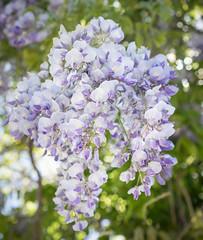 Blue Rain (Ghita Katz Olsen) Tags: bokeh wisteria blregn