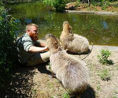Toronto Zoo (kaeko) Tags: toronto ontario canada animal animals zoo creatures capybara torontozoo