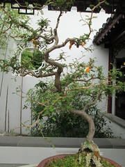 Penjing (trevor-v) Tags: penjing tree