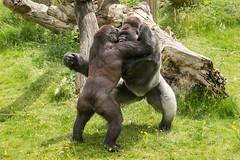 2016-06-16-12h35m32.BL7R9907 (A.J. Haverkamp) Tags: canonef100400mmf4556lisiiusmlens rotterdam zoo dierentuin blijdorp diergaardeblijdorp httpwwwdiergaardeblijdorpnl gorilla westelijkelaaglandgorilla bokito dob14031996 pobberlingermany nasibu dob01042007 pobfrankfurtgermany