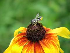 Leafcutter Bee (?) on Gloriosa Daisy (AmyWoodward) Tags: rudbeckia gloriosadaisy