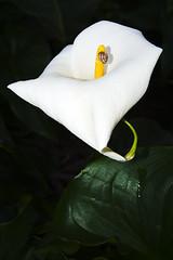 Lily (Macr1) Tags: flower flora cloudy outdoor snail australia location cameras wa 5100 westernaustralia default lenses conditions gardenisland markmcintosh selp1650 macr237gmailcom sonyepz1650mmf3556oss markmcintosh ilce5100 sonyilce5100 sony5100 61403327236