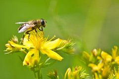 in green and yellow (Denis Vandewalle) Tags: flower macro green nature fleur bokeh insecte macrophotography pentaxk5