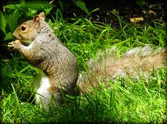 DSCN9621 (DianeBerky19) Tags: summer backyard nikon squirrels birdfeeder peanuts bej greysquirrels coolpixp900