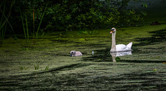 Swan and cygnet (Chiew L) Tags: swan cygnet