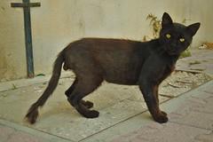 Zwarte Kater (josbert.lonnee) Tags: black animal cat kat outdoor katze zwart kater yelloweyes tomcat schwatz geleogen gelbeaugen