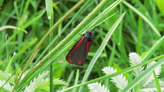 Cinnabar moth (Tyria jacobaeae) (hedgehoggarden1) Tags: uk nature canon insect outdoors wildlife moth lepidoptera dorset cerneabbas cinnabarmoth tyriajacobaeae grassstem gianthill canonpowershotsx50hs