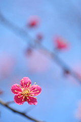 Simple (*Sakura*) Tags: pink flower macro nature japan tokyo plum  sakura  earlyspring