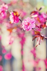 peach tree (elysa222) Tags: flowers spring bokeh peach bloom peachtree persephonesgarden crimsoncascadepeach