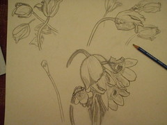 Flower Sketching Series (Mr. Happy Face - Peace :)) Tags: flowers composition pencil artwork artist drawing sketching framing sketches quarters 2012 sizing mrshappyface