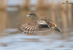American Female Widgeon or Baldpate (JRIDLEY1) Tags: water duck spring brighton michigan americana anas baldpate americanwidgeon jridley1 jimridley httpjimridleyzenfoliocom photocontesttnc12